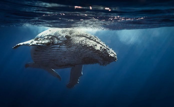 Are Whales Hijacking the Bitcoin Industry? High-Value Traders Staying Put